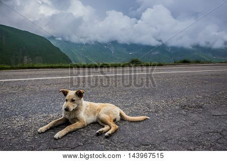 Dog on Transfagarasan Road in southern section of Carpathian Mountains in Romania