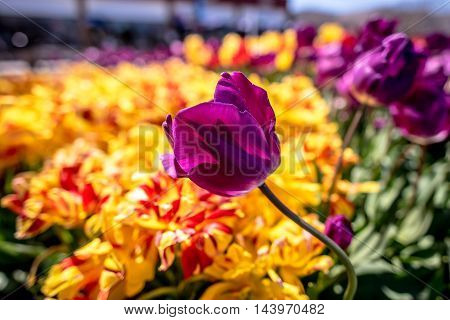 Purple tulip flowering in a colorful spring garden against a backdrop of vibrant variegated orange flowers