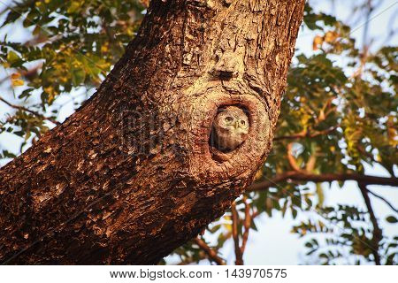 Little owl in a hollow big tree