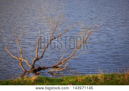 Lonely dry tree standing in a pond