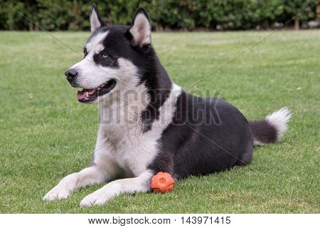 Black and white male Siberian husky on grass laying down