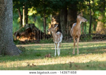 Whitetail Deer Doe And Fawn