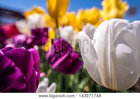 Colorful Display Of Spring Tulips In A Flowerbed