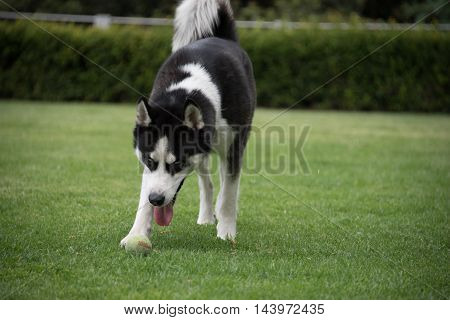 Black and white male Siberian husky playing fetch