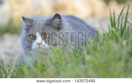 Ragdoll cat in the grass, close up