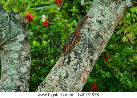 Indian Palm Squirrel Sri Lanka island. Animals on the island of Sri Lanka.
