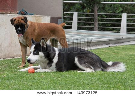 Black and white Siberian husky and brown boxer. Husky is protecting ball from boxer.