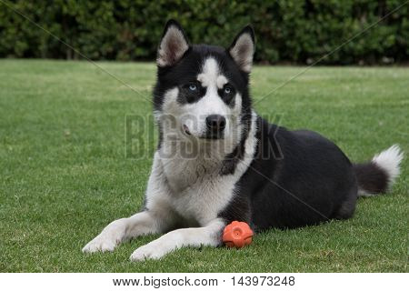 Black and white Siberian husky laying on green lawn