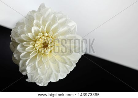 white dahlia flower abstract background, close up