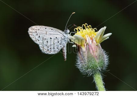 Small Common butterfly on grass flowers close up