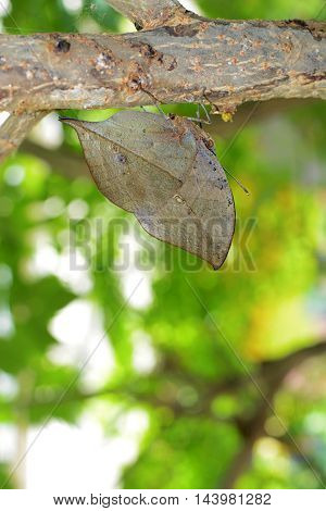 Kallima inachus butterfly with incredible evolutionary camouflage, also known as orange oakleaf or dead leaf