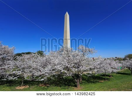 The Washington Monument And Cherry Trees In Full Bloom on a Sunny Spring Day in Washington DC USA