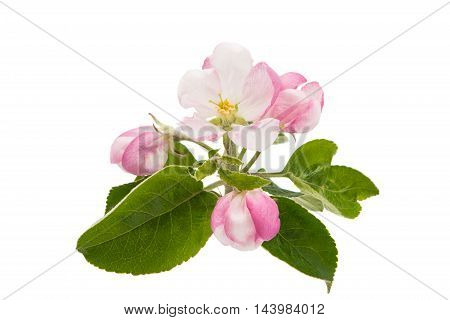 gardening apple flowers on a white background