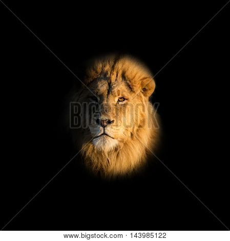 Closeup portrait of a male Lion on a black background