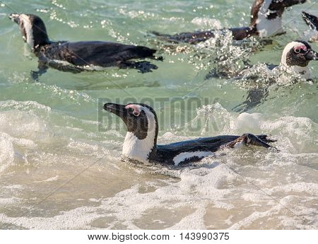 A group of African Penguins swimming in Southern Africa