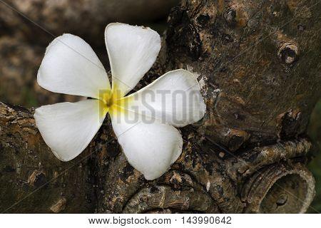 White flower Frangipani on texture of tree