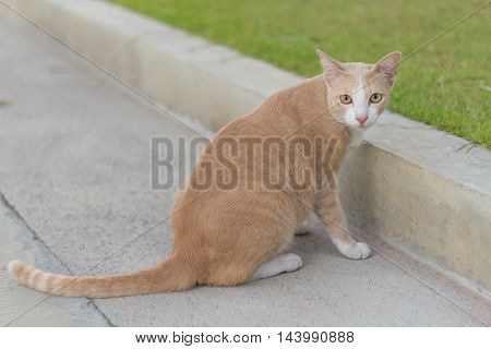 Brown Siamese cat on the street. It sat back, looking at the camera.