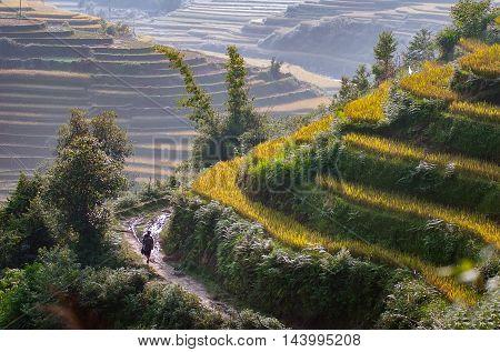 landscaped terraces, in the season of grain. highland Yen Bai, Vietnam