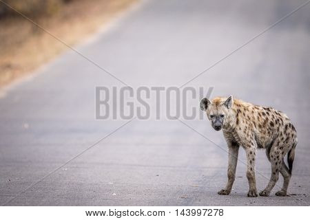 Young Spotted Hyena Walking On The Road In The Kruger.