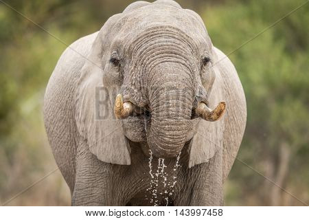Close Up Of An Elephant Drinking In Kruger.
