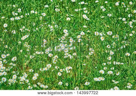Chamomiles (Matricaria chamomilla) among the Green Grass