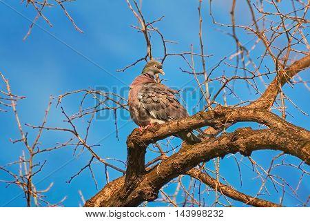 Common Wood Pigeon (Columba palumbus) Perching on the Bough