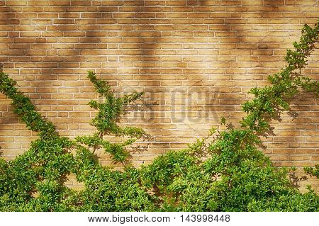 Green Clambering Plant over the Brick Wall