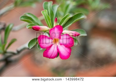 Pink Impala Lily, Desert Rose or pink flower in Thailand.