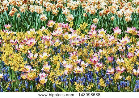 Lilac Wonder Tulips among Muscari Botryoides Flowers