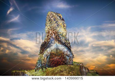 Guatemalan Spiny tailed Iguana on the Stone