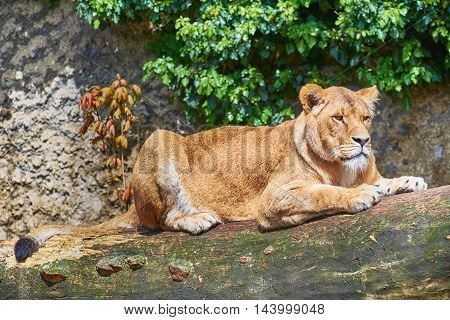 Wild Lioness Lies on a Tree Trunk