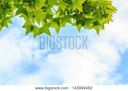 Autumn Maple Leaves Against Cloud And Blue Sky