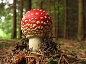image of shroom  - photo of young toadstool in the forest - JPG