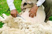 stock photo of clippers  - Hand clippers are used to shear a sheep on traditional farming methods - JPG