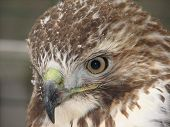 3/4 View Of Grace - A Red Tail Hawk