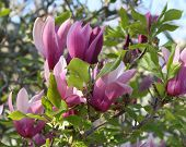 picture of japanese magnolia  - Tulip tree blossoms also known as a Japanese magnolia or saucer magnolia - JPG