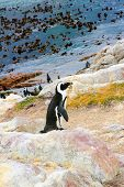 pic of jackass  - Jackass penguin standing on a rock in its natural environment on the west coast of South Africa - JPG