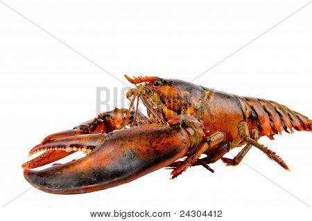 Fresh Live Lobster