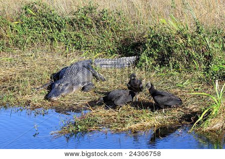 Alligator And Vultures
