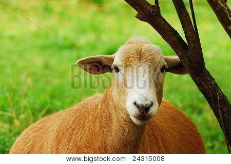 Mother Sheep Resting By Tree