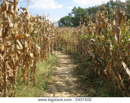 A Path Cut Through A Corn Field Maze