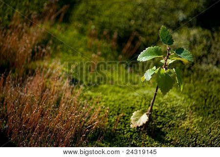 deciduous broad-leaved tree