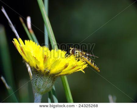 kleine Biene auf einer Ellow-Blume