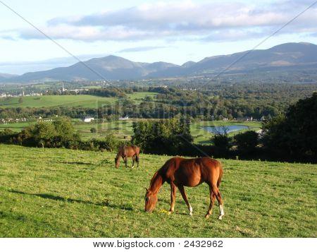 Horses Grazing In Ireland