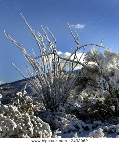 Snow Covered Ocotillo