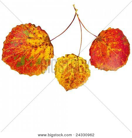 colorful autumnal aspen leaves isolated