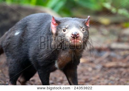 Tasmanian Devil - Sarcophilus Harrisii - Shallow Depth Of Field