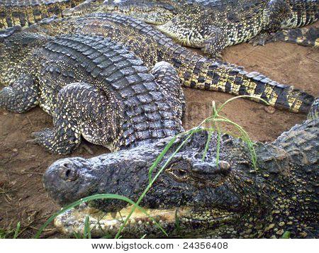 The crocodile's head