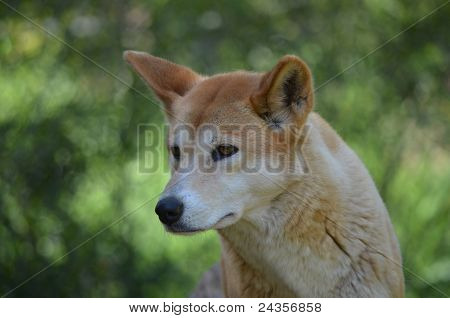 golden dingo close up
