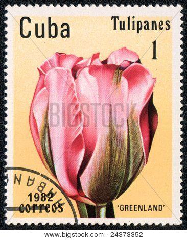 Tulip Greenland